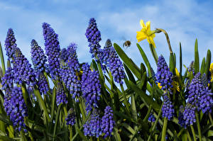 Desktop wallpapers Hyacinths Daffodils Closeup Muscari Flowers