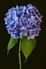 Pictures Hydrangea Closeup Black background Flowers