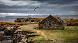 Bakgrundsbilder på skrivbordet Irland Kusten Ruinerna Fågel Kossor Cliffs of Moher Natur Djur