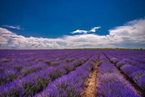 Desktop hintergrundbilder Lavendel Felder Himmel Wolke Blumen Natur