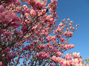 Fotos Magnolien Ast Rosa Farbe Blumen