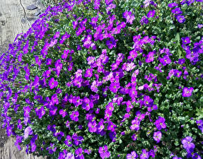 Fotos Viel Violett Aubretia Blumen