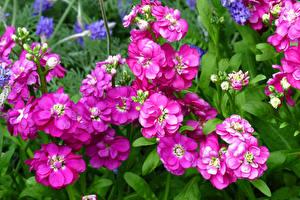 Bilder Levkojen Großansicht Rosa Farbe Blüte