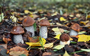 Picture Mushrooms nature Leaf Blurred background boletus