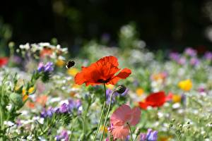 Photo Poppies Bumblebee Red Blurred background Flowers