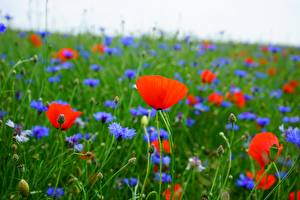 Picture Papaver Cornflowers Grasslands Red Blurred background Flowers