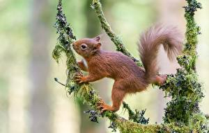 Wallpapers Squirrels Rodents Branches Ginger color Moss Animals