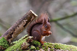 Picture Squirrels Rodents Moss Blurred background animal