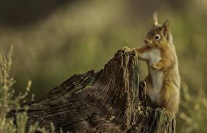 Photo Squirrels Rodents Tree stump Blurred background Animals