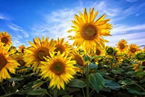 Bilder Sonnenblumen Himmel Blumen