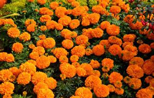 Hintergrundbilder Tagetes Viel Orange Blüte