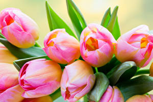 Images Tulips Closeup Pink color Flowers