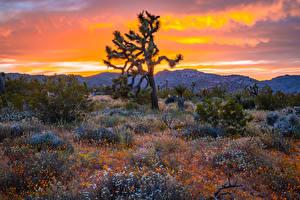 Fotos USA Parks Sonnenaufgänge und Sonnenuntergänge Kakteen Kalifornien Hügel Strauch Joshua Tree National Park Natur
