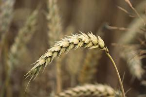 Pictures Wheat Closeup Blurred background Ear botany