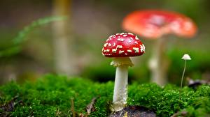 Pictures Amanita Mushrooms nature Closeup Moss Nature