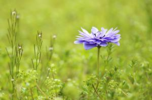 Pictures Anemones Violet Bokeh flower