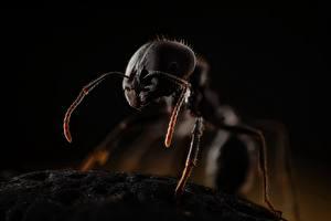 Hintergrundbilder Ameisen Hautnah messor ein Tier