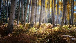 Photo Autumn Forests Trees Rays of light Birch Nature