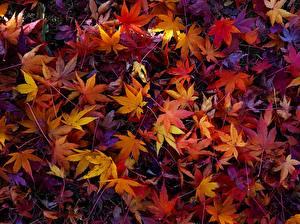 Fotos Herbst Textur Blattwerk Ahorne Natur