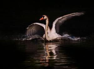 Фотография Птица Лебеди Ночью Белые Животные