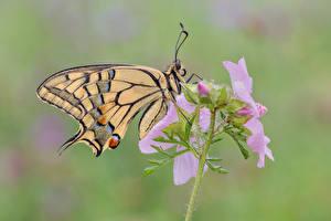 Bureaubladachtergronden Vlinders Insecten Close-up Swallowtail butterflies Dieren