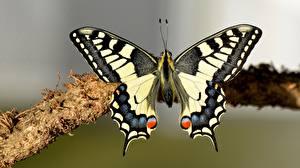 Bilder Schmetterlinge Insekten Nahaufnahme machaon ein Tier
