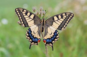 Fonds d'écran Papilionoidea Insectes En gros plan machaon Animaux