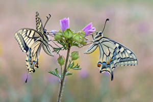 Bilder Schmetterlinge Insekten 2 machaon