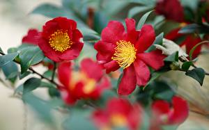 Fotos Kamelien Nahaufnahme Unscharfer Hintergrund Rot Blumen