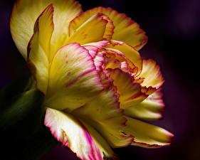 Fonds d'écran Dianthus En gros plan Fond noir fleur