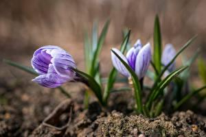 Fondos de escritorio Crocus Primavera De cerca Fondo borroso Flores