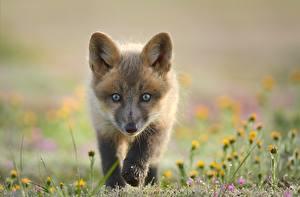 壁紙,年幼的动物,狐狸,凝视,散景,動物,