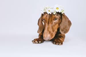 Fotos Hund Dackel Kranz Pfote Grauer Hintergrund Tiere