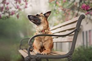 Fotos Hunde Deutscher Schäferhund Hinlegen Bank (Möbel)