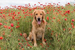 Hintergrundbilder Hund Mohn Retriever Zunge ein Tier