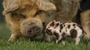 Image Domestic pig Cubs Grass animal