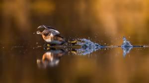 Fondos de escritorio Patos Agua Correr Despegan animales