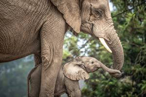 Images Elephants Cubs Two