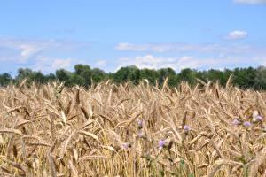 Desktop hintergrundbilder Acker Weizen Ähren Natur