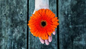 Bilder Gerbera Orange Hand Blüte