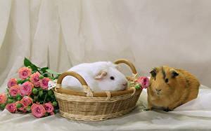 Desktop hintergrundbilder Hausmeerschweinchen Rosen Weidenkorb 2 Tiere