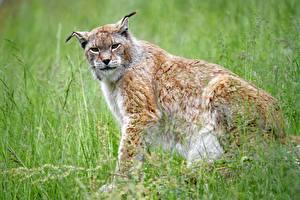 Bureaubladachtergronden Lynxen Gras Kijkt Bokeh Zittend een dier