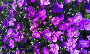 Fonds d'écran Beaucoup En gros plan Violet Aubretia fleur