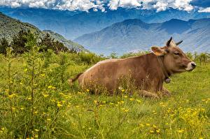 Fotos Gebirge Kühe Alpen Gras Ruhen Natur