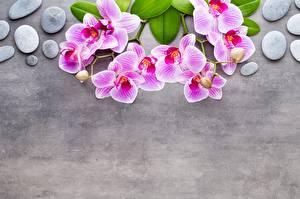 Fotos & Bilder Orchideen Steine Ast Grauer Hintergrund Rosa Farbe Vorlage Grußkarte Blumen