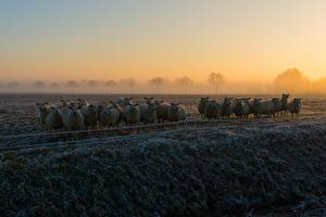 Fotos Hausschaf Morgen Nebel Gras Reif niederschlag Herde ein Tier