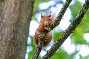 Bilder Eichhörnchen Nagetiere Ast Fuchsrot Blick Tiere