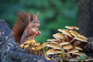 Wallpaper Squirrels Rodents Mushrooms nature Bokeh Animals