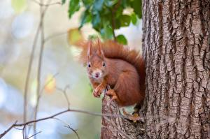 Photo Squirrels Rodents Trunk tree Blurred background animal