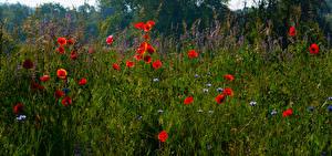 Desktop hintergrundbilder Sommer Acker Mohn Gras Blüte